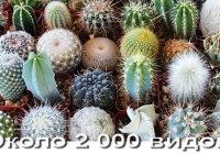 Как определить вид домашнего кактуса?