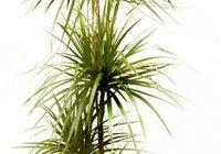Цветы Драцена, уход за комнатными растениями
