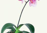 """Комнатные декоративные цветы - орхидеи """"Фаленопсис"""""""