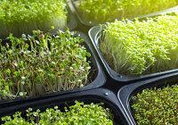 Какая микрозелень самая вкусная и полезная?