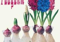 Гиацинт, выращивание в домашних условиях