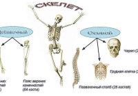 Какие части скелета относятся к осевому скелету, а какие к добавочному?