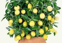 Лимон дома. Уход в домашних условиях. Как вырастить дома лимон?