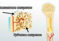 Как устроено компактное вещество кости?