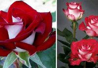 Какие розы самые лучшие для частного сада? (Рейтинг)