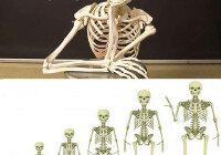 За счет чего кости растут в длину и ширину?