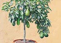 Авокадо домашнее, выращивание в домашних условиях