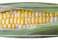 Как варить кукурузу в початках в кастрюле?