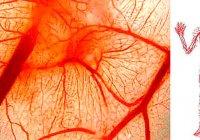Длина капилляров в теле человека составляет около 100 000 км