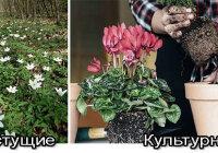 Почему растения подразделяются на дикорастущие и культурные?