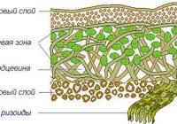 Каковы особенности строения лишайников?