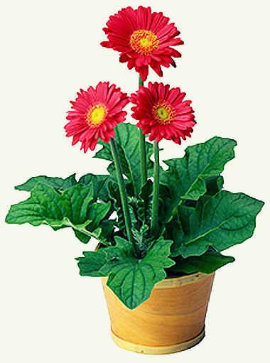 Красивые цветы в горшках домашние