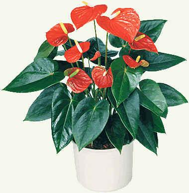 цветок антуриум фото: