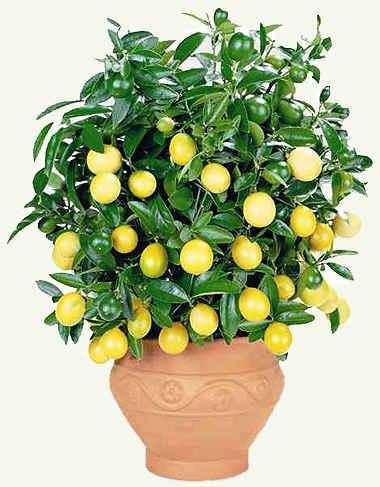 Лимон дома.