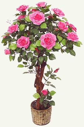 Роза комнатная, домашняя.