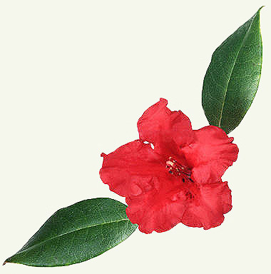 Цветок Азалия.