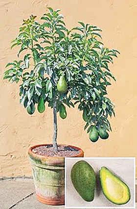 Авокадо, выращивание в домашних условиях.
