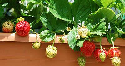 Выращивание клубники в домашних условиях.
