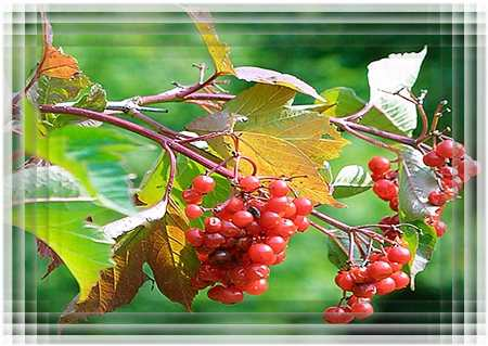 Красная ягода калина.