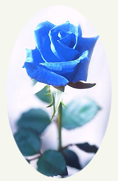 Фото синей розы