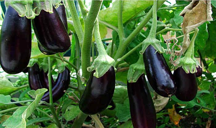 Большой урожай баклажан