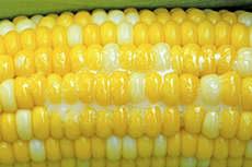 Кукуруза в молоке
