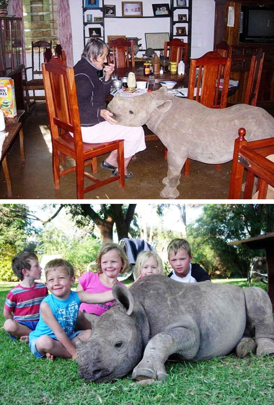 Смешной домашний носорог