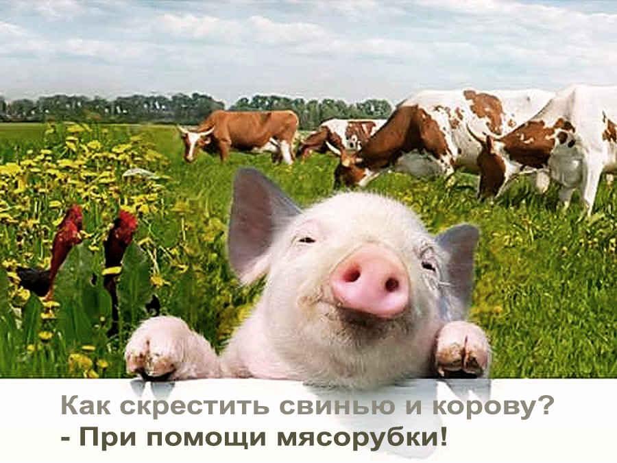 Как скрестили свинью и корову