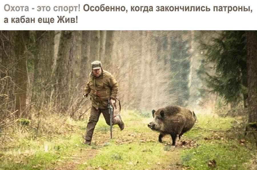 Дикий кабан на охоте на человека