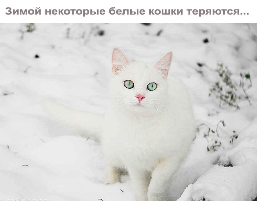 Цитата про белую кошку
